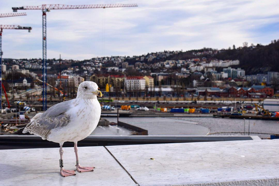 Seagull in Oslo Norway