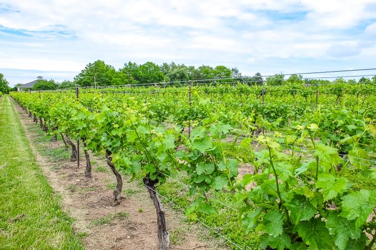green vineyard rows with sky behind niagara on the lake