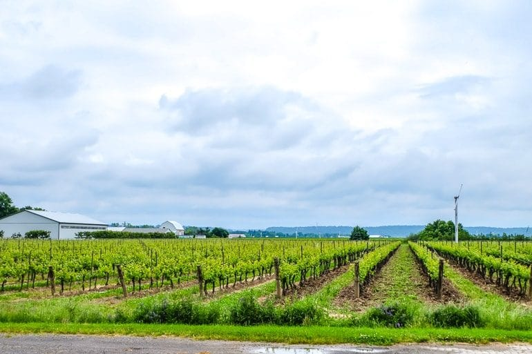 green lines of vineyard vines with clouds behind inniskillin niagara on the lake