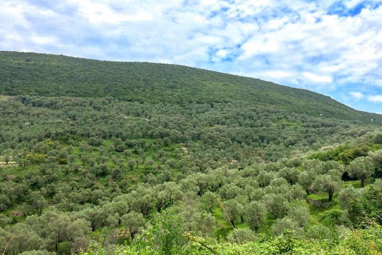 green hollside with green olive trees things to do in ulcinj