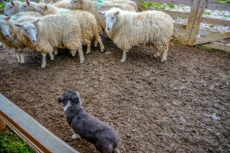 black dog and sheep standing on mud with fence ireland travel tips