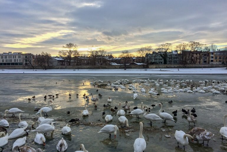 ducks and swans in icy river 3 days in krakow poland