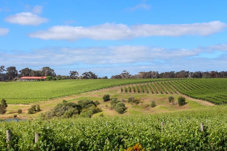 Grünes Gras und Weinreben in Margaret river Australien