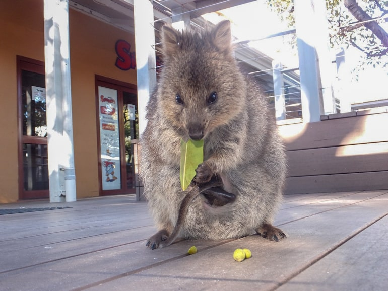 Tier isst grünes Blatt auf Holzboden