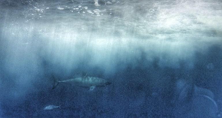 Undterwasser mit Haien Schwimme Port Lincoln Australien