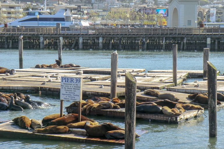 sea lions on wooden pier top 10 things to do in san francisco