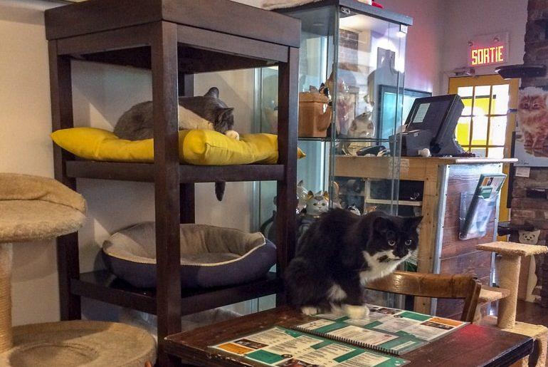Katzen auf Holztisch in Katzencafe Ein Tag in Montreal