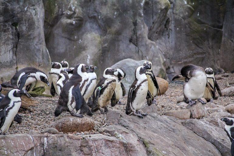 Pinguine stehen in Gruppe in Zoo von Bristol