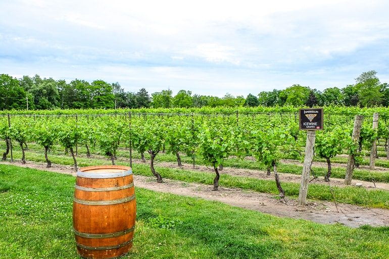green vineyard with wooden barrel niagara on the lake inniskillin