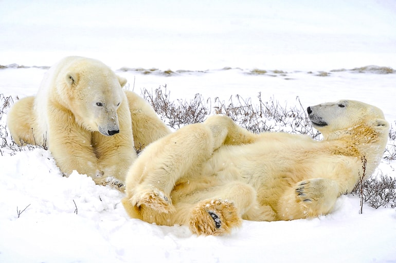 two polar bears laying in the snow in canada