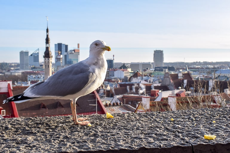 seagull eating apple on rock edge with old town behind in tallinn