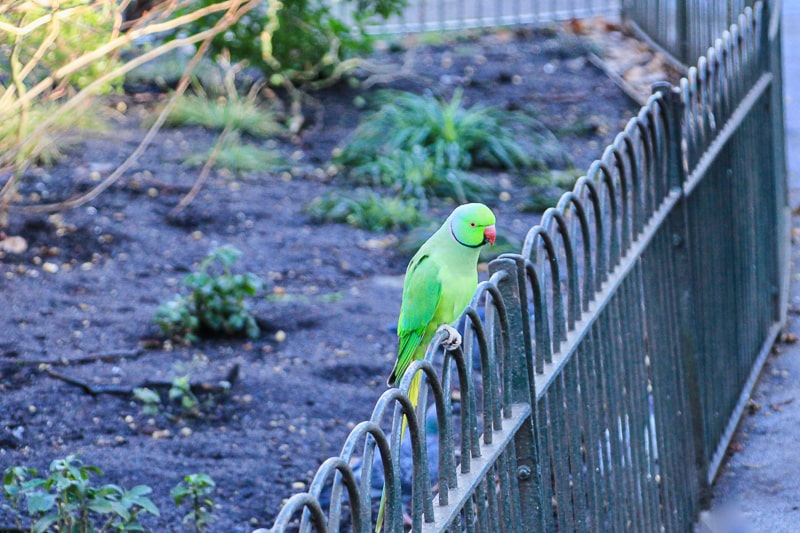 green parakeet on fence in st james park london
